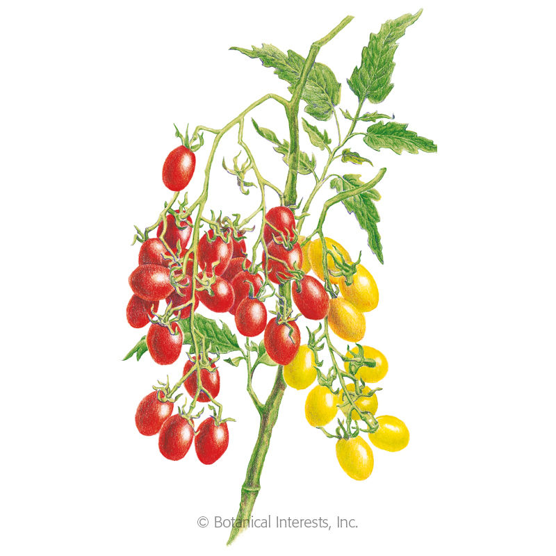 Jelly Bean Red & Yellow Blend Pole Cherry Tomato Seeds