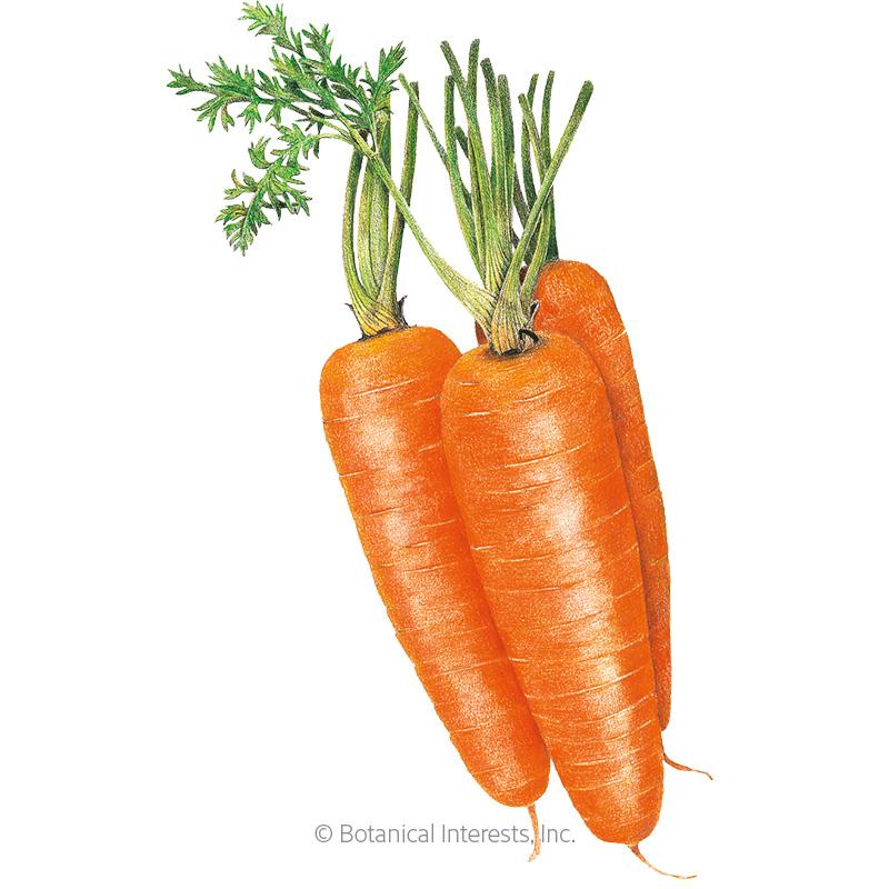Shin Kuroda Carrot Seeds