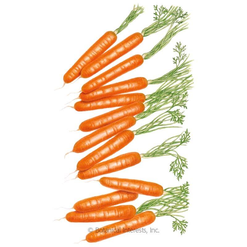 Little Finger Carrot Seeds