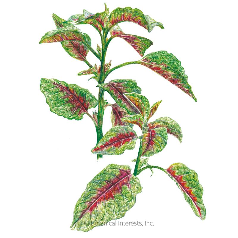 edible red leaf amaranth seeds view all vegetables botanical interests