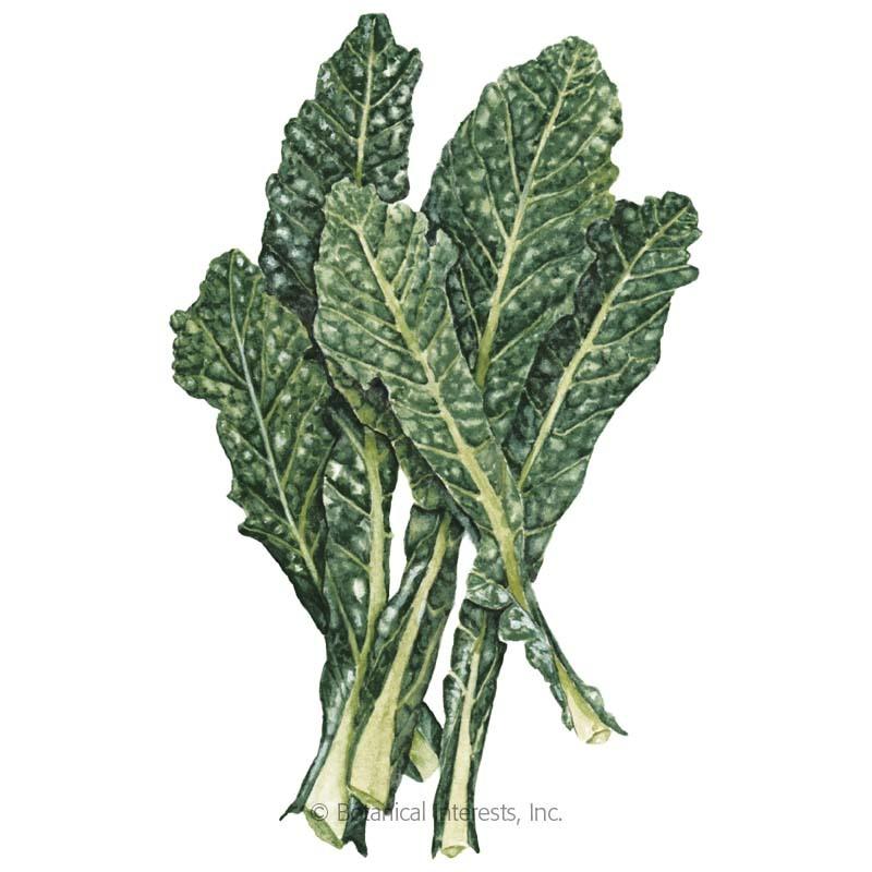 Nero Toscana Kale Seeds