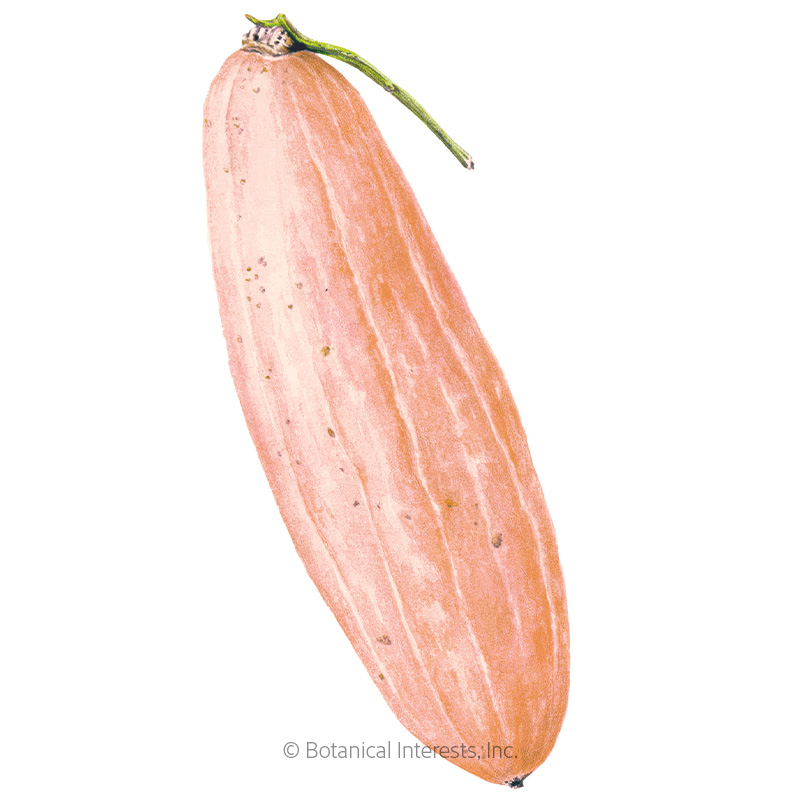 Pink Banana Winter Squash Seeds