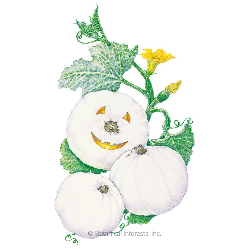 Lumina Pumpkin Seeds