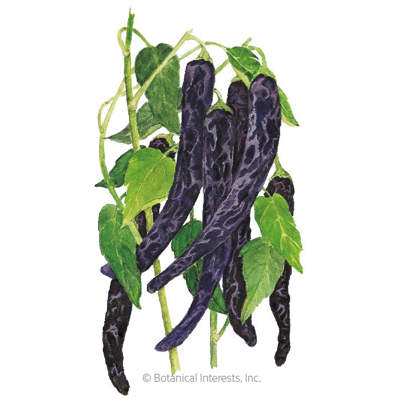 Pasilla Bajio Chile Chilaca Pepper Seeds