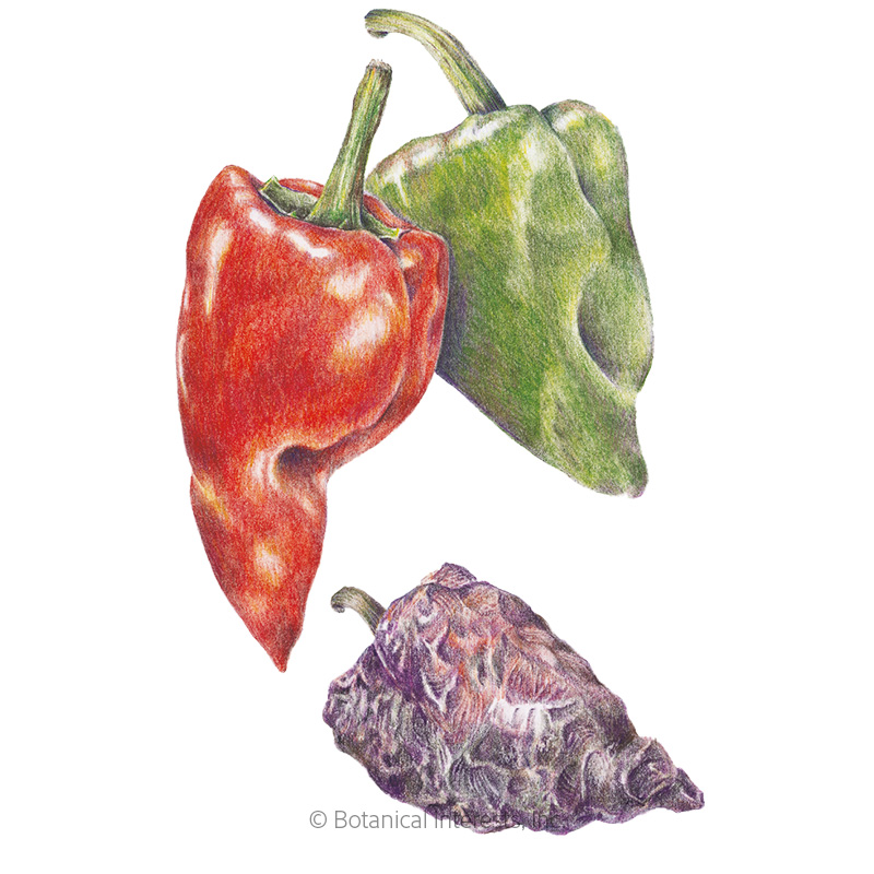 Ancho/Poblano Chile Pepper Seeds
