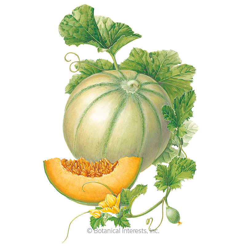 Charentais Cantaloupe Melon Seeds Vegetables Botanical Interests Cantaloupe is the perfect healthy summertime treat. charentais cantaloupe melon seeds