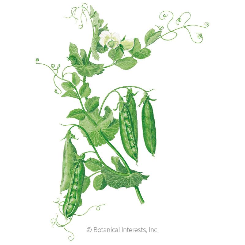 Wando Shelling Pea Seeds