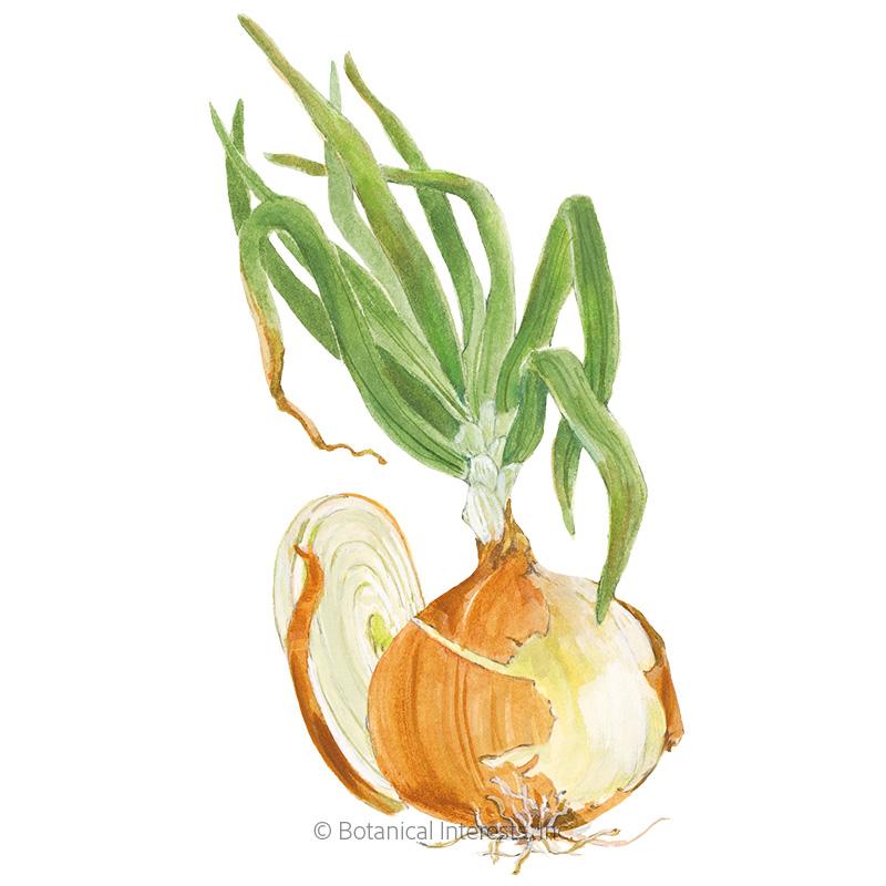 Yellow Granex PRR Bulb Onion Seeds