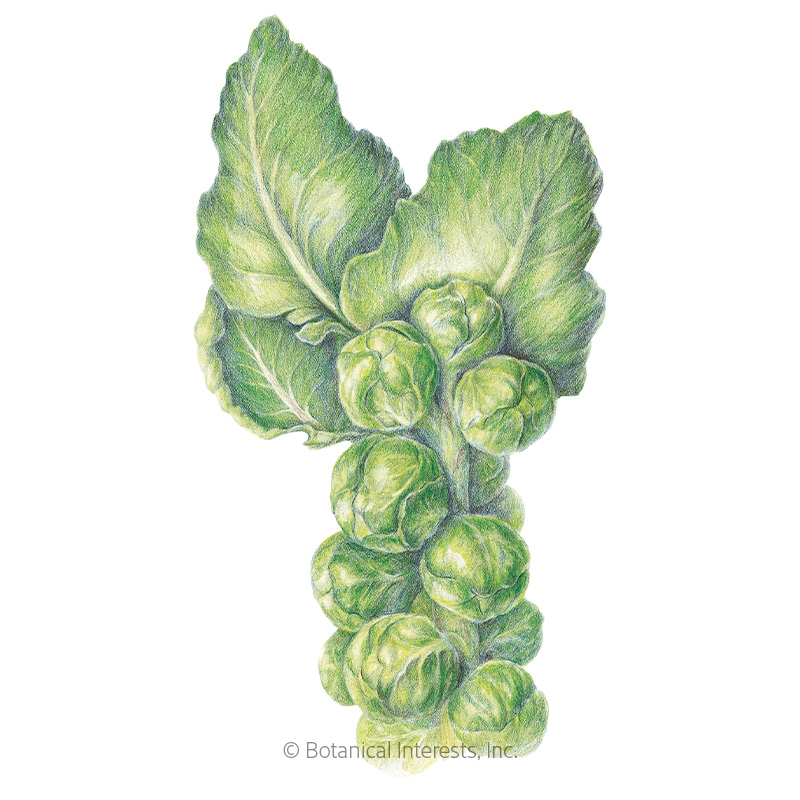 Long Island Improved Brussels Sprouts Seeds