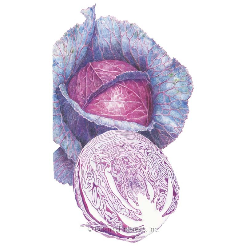Red Acre Cabbage Seeds