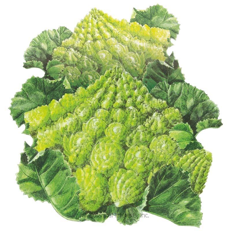 Romanesco Broccoli Seeds