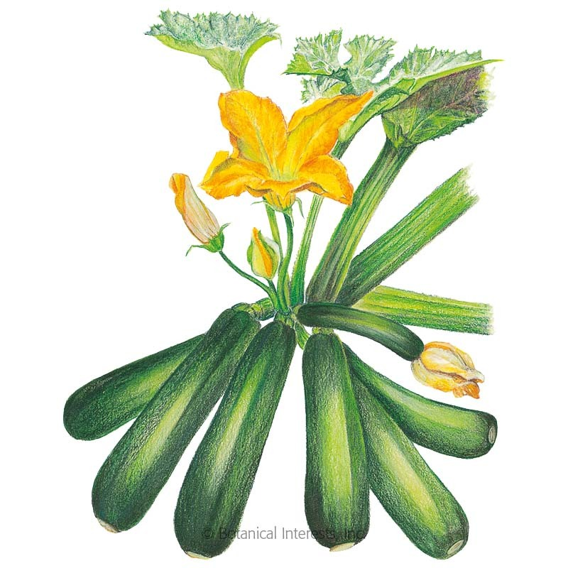 Emerald Delight Summer Squash Seeds