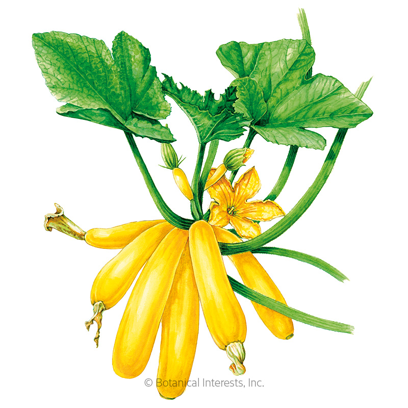 max u0026 39 s gold summer squash seeds  view all vegetables