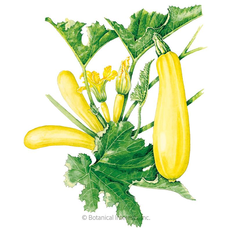 Cube Of Butter Summer Squash Seeds Vegetables Botanical Interests