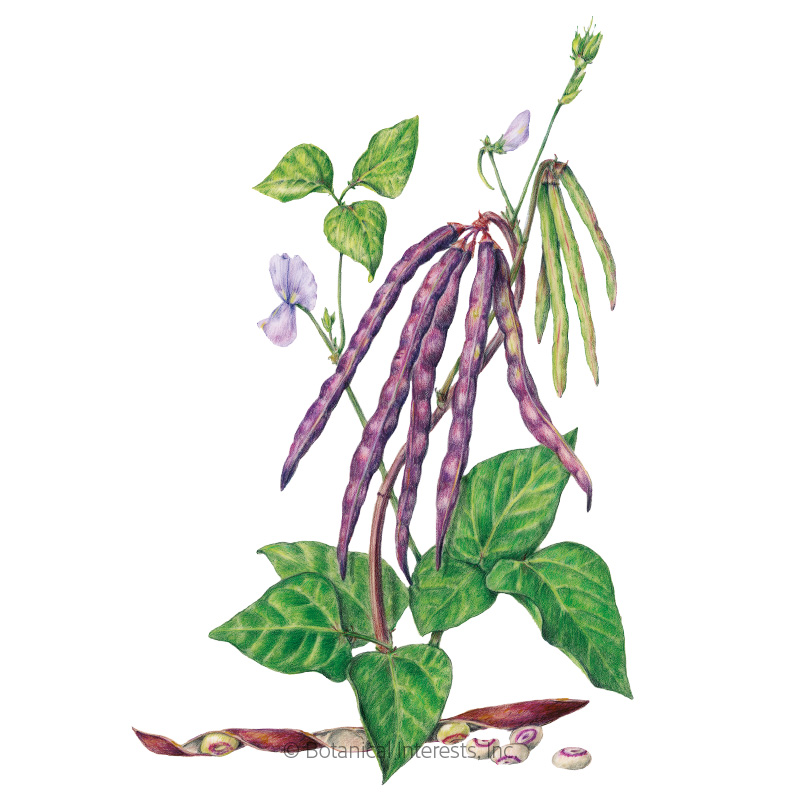Pinkeye Purple Hull Bush Cowpea Bean Seeds