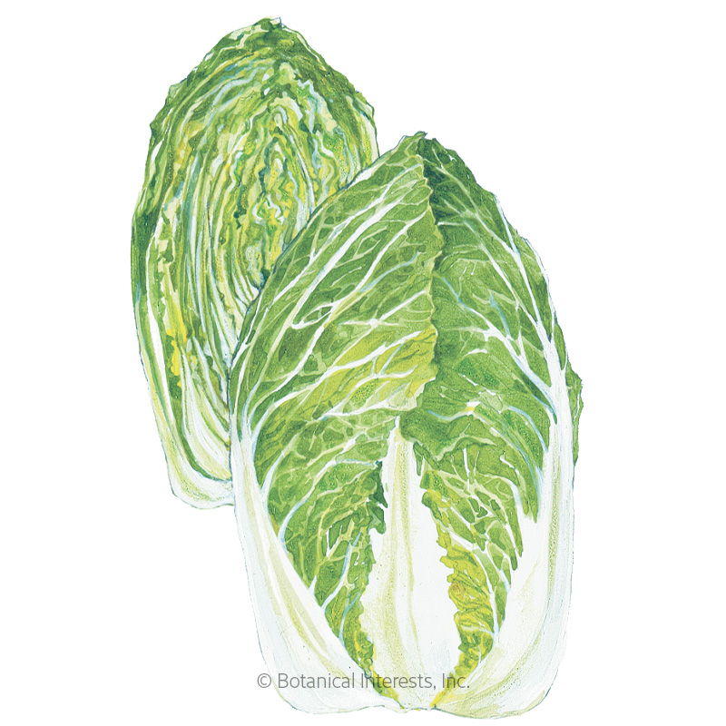 One Kilo Slow Bolt Napa Cabbage Seeds Vegetables Botanical Interests