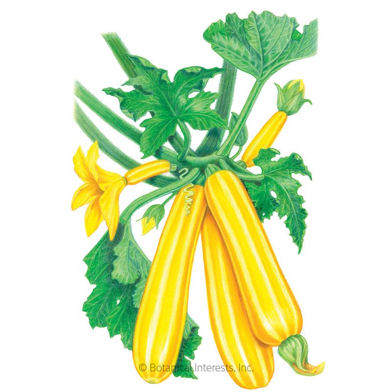 Sunstripe Summer Squash Seeds Vegetables Botanical Interests