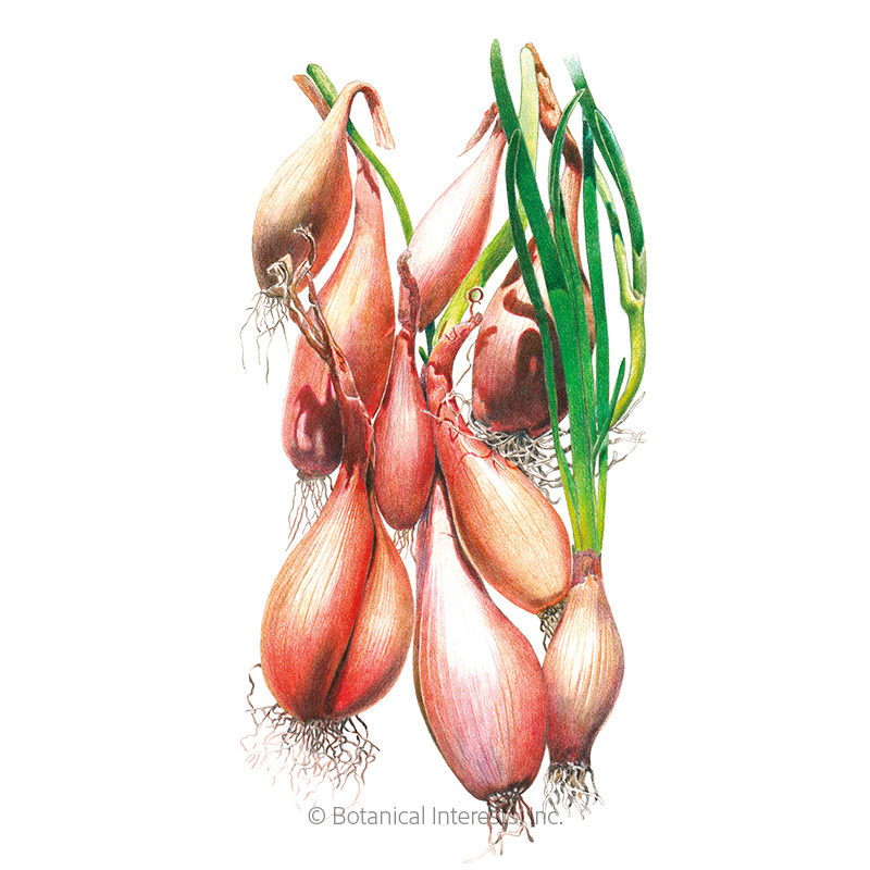 Zebrune Shallot Onion Seeds