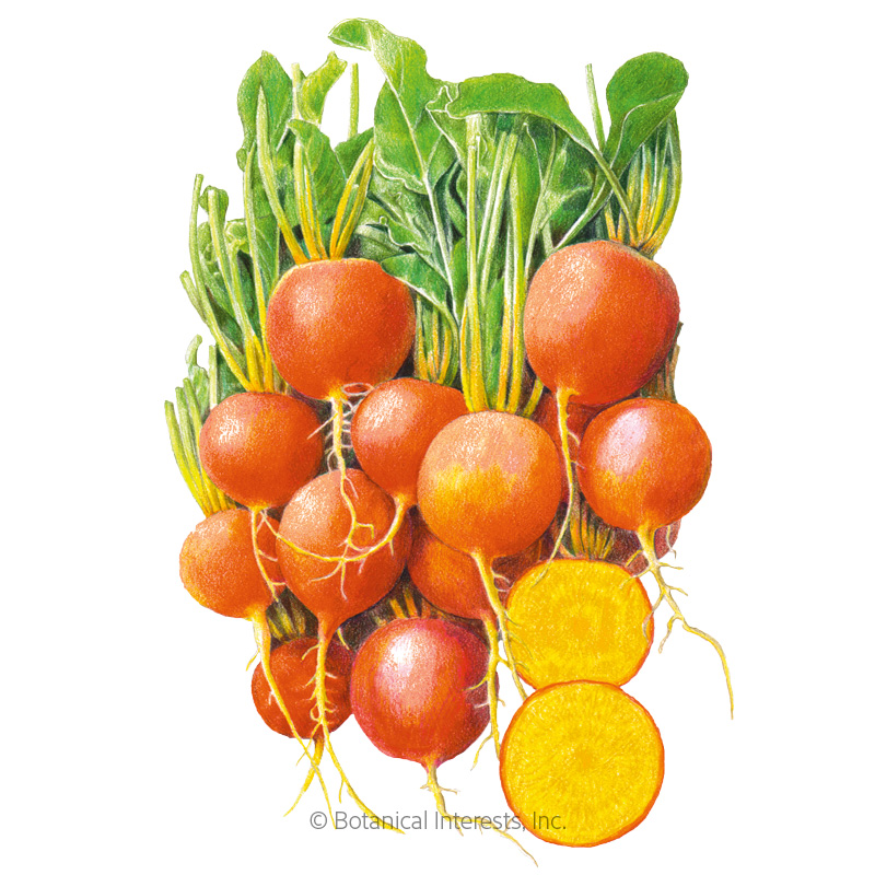 Golden Boy Beet Seeds