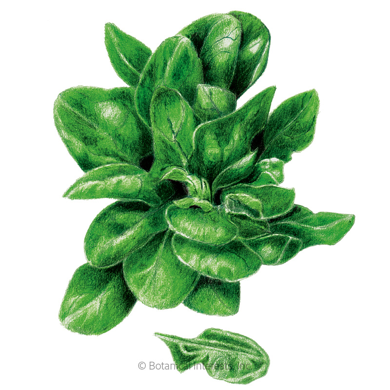 Matador Spinach Seeds