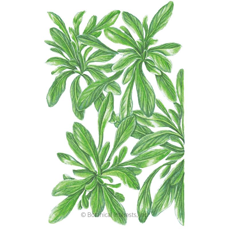 Heirloom Corn Salad Non-GMO 1 g ~650 Seeds CornsaladMache Seed Open Pollinated Vegetagle Gardening Seeds