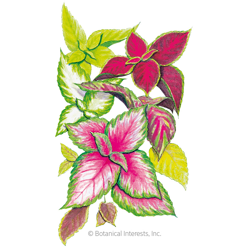 Rainbow Blend Coleus Seeds View All Flowers Botanical Interests