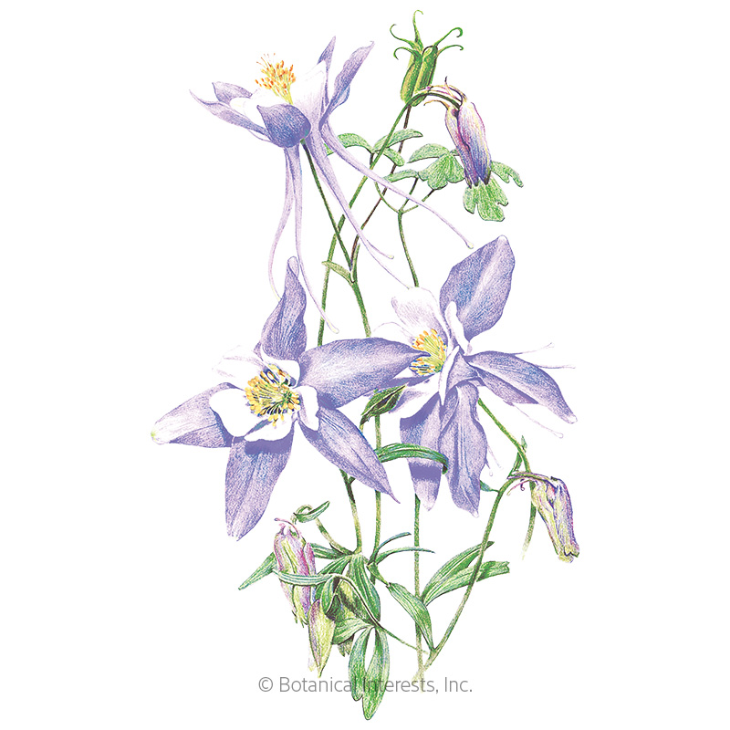 Rocky Mountain Blue Columbine Seeds