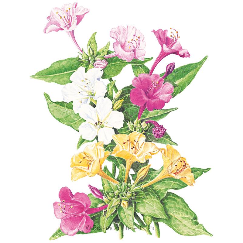 marvel of peru four o clock seeds view all flowers botanical
