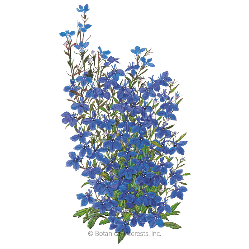 Crystal Palace Lobelia Seeds View All Flowers Botanical Interests