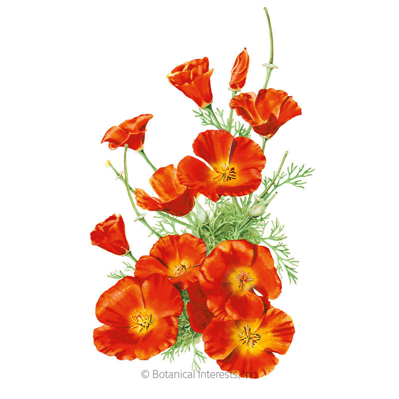 Mikado California Poppy Seeds View All Flowers Botanical Interests