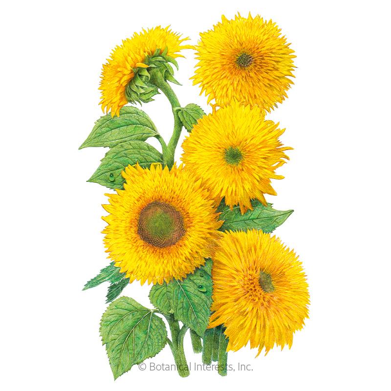 Teddy Bear Dwarf Sunflower Seeds