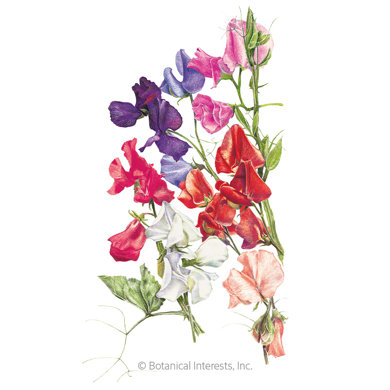 Early Multiflora Blend Sweet Pea Seeds