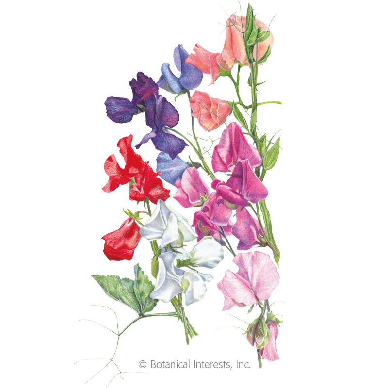 Knee-Hi Blend Sweet Pea Seeds