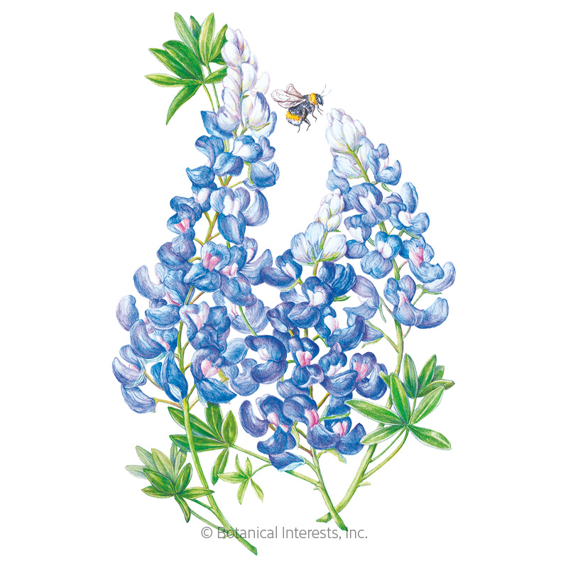 Bluebonnet Seeds , View All Flowers: Botanical Interests