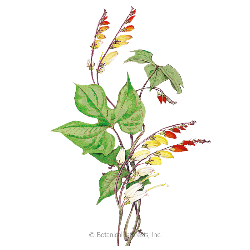 Spanish Flag Mina Lobata Seeds