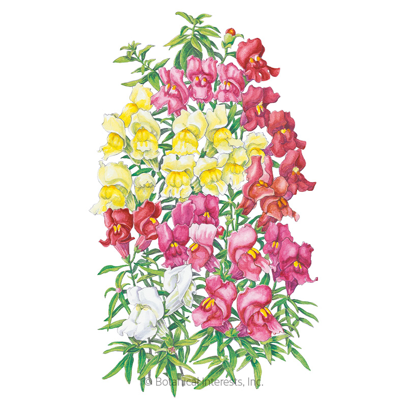 magic carpet blend snapdragon seeds   view all flowers