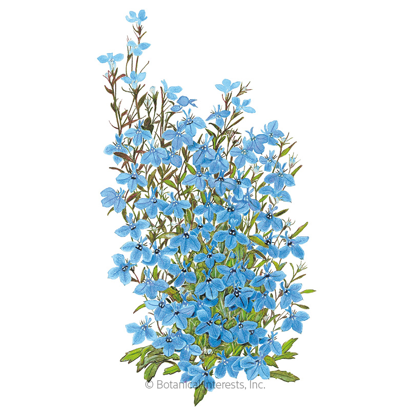 Cambridge Blue Lobelia Seeds View All Flowers Botanical Interests
