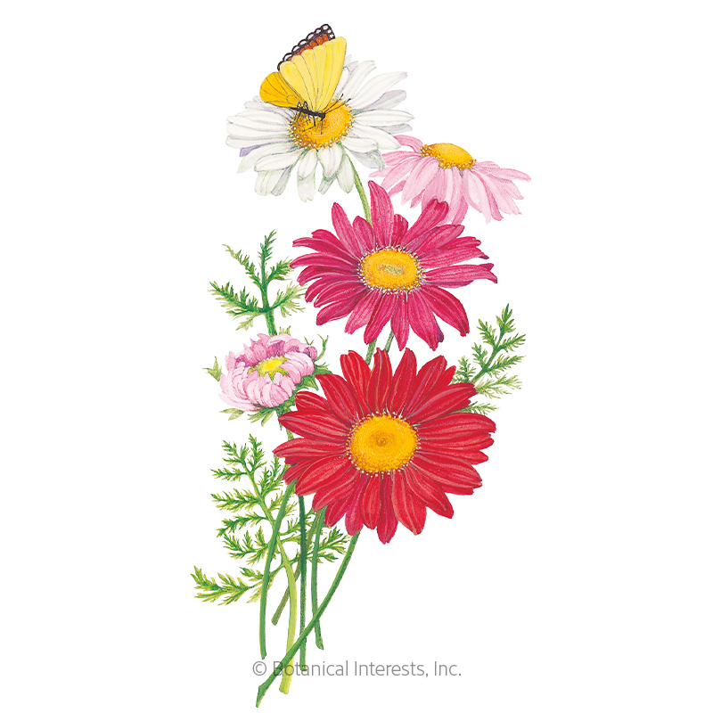 Robinson's  Blend Painted Daisy Seeds