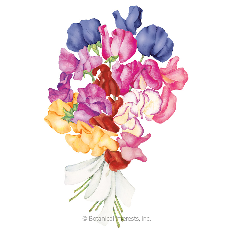 Perfume Delight Sweet Pea Seeds View All Flowers Botanical