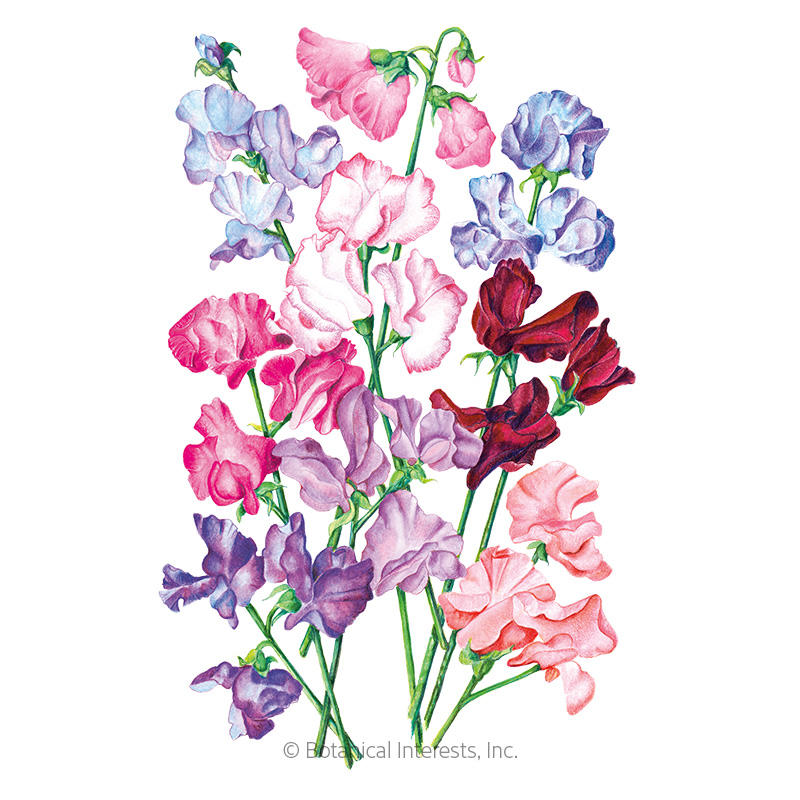 bouquet blend sweet pea seeds  view all flowers  botanical