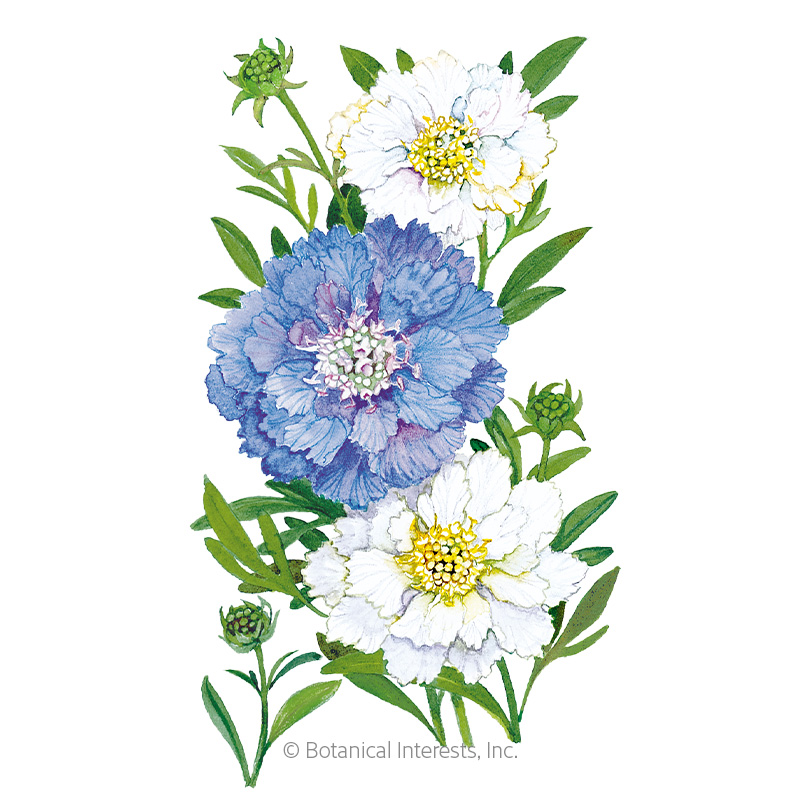 Isaac House Blend Scabiosa Pincushion Flower Seeds