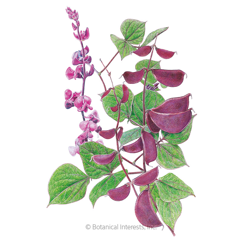 Ruby Moon Hyacinth Bean Seeds View All Flowers