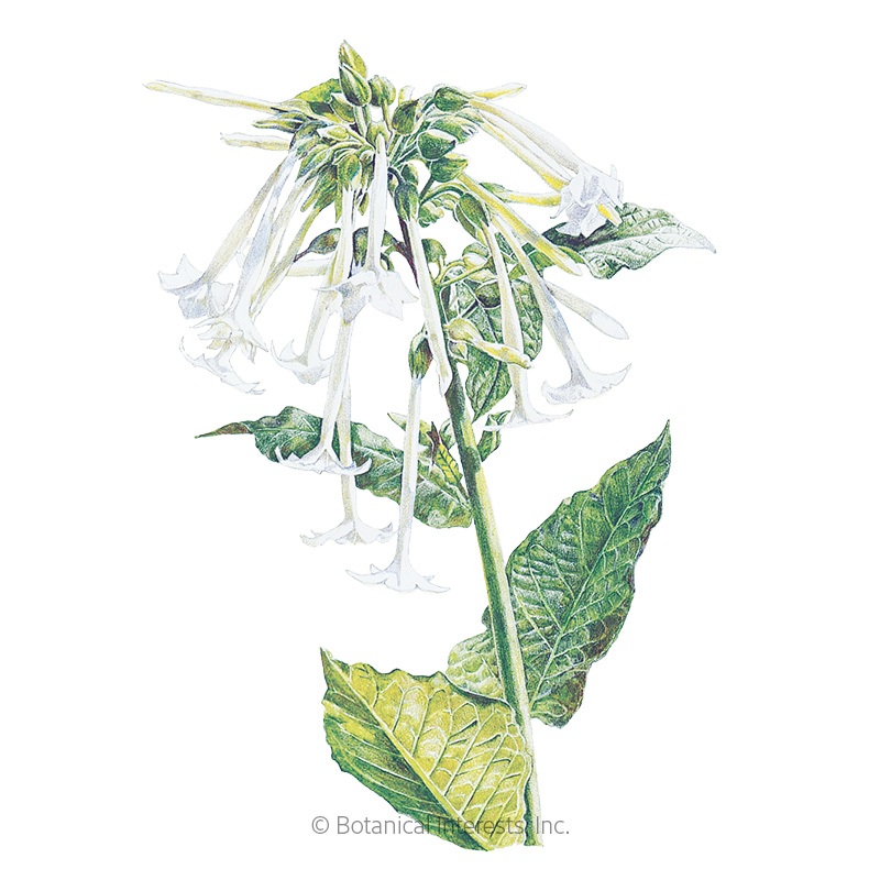 Indian Peace Pipe Nicotiana Seeds