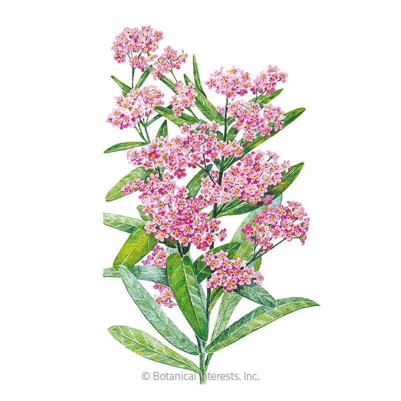 Victoria Pink Forget Me Not Seeds View All Flowers Botanical