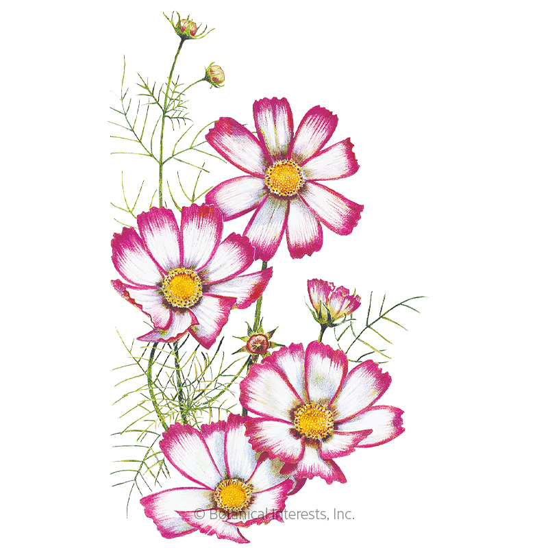Candystripe Cosmos Seeds