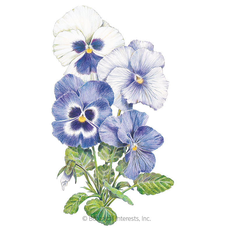 Got the Blues Pansy Seeds