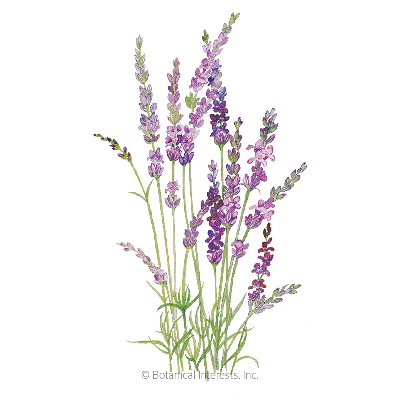 English Tall/Vera Lavender Seeds
