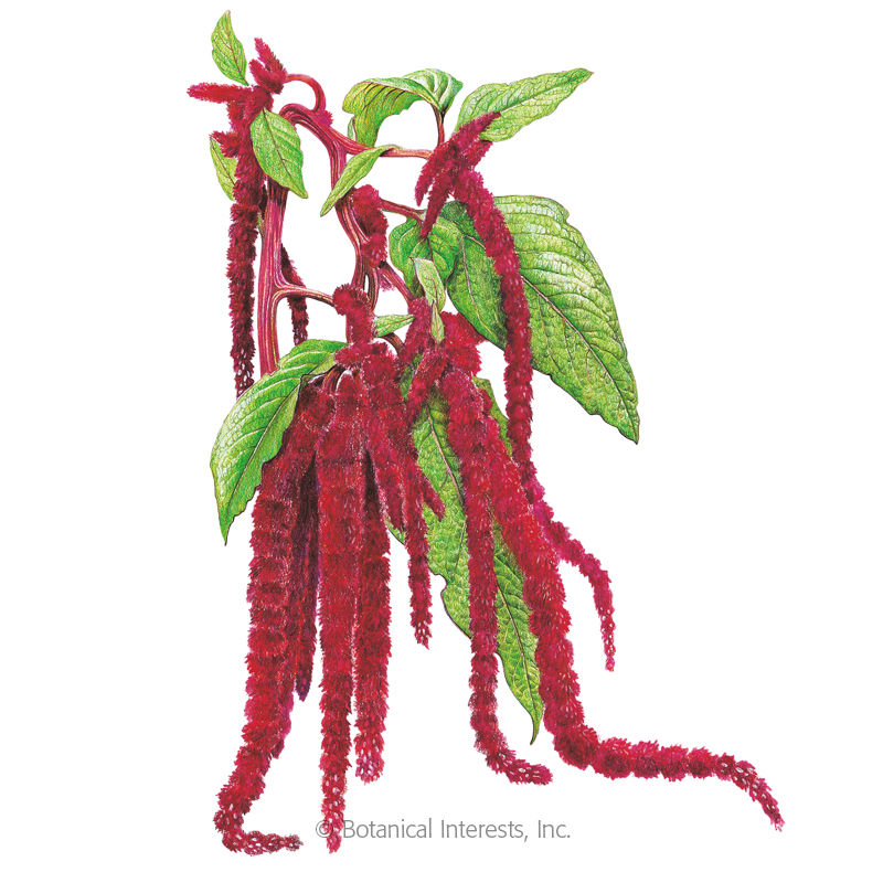 Love-Lies-Bleeding Seeds