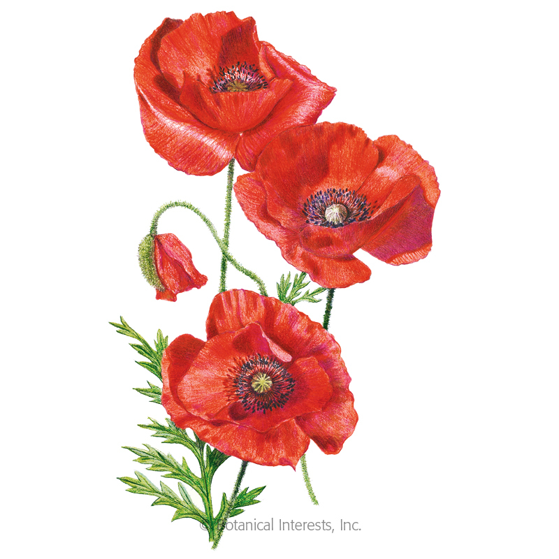 American Legion Corn Poppy Seeds View All Flowers Botanical