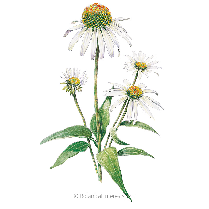 White Swan Echinacea Seeds View All Flowers Botanical Interests